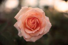Light pink rose.
