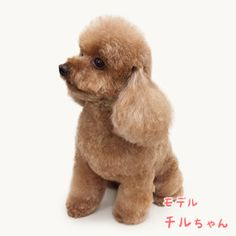 Poodle Mix, Toy Poodles, Teddy Bear, Toys, Funny, Cute, Animals, Places, Activity Toys