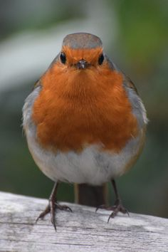 Robin Redbreast, Wrens, Robin Bird, Art Thou, Wood Slices, Man In Love, Nature Animals, Flower Photos, Beautiful Sunset