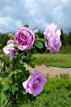 Wasagaming - Rosa rugosa - Hongiston TaimistoHongiston Taimisto Roses