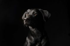 Black Labrador dog - Amazing Wildlife photos using back-lit. The photographs capture the animals amazing profiles - Wildlife Planet - Animal conservation  Please visit our website for the latest news, Info and Videos on our worlds endangered species, Pets and Healthy Living  http://www.wildlifeplanet.net