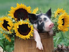 Pig + Sunflowers. I Love This!