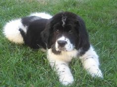 Newfoundland Puppy Pictures Information Big Dogs, Cute Dogs, Dogs And Puppies, Doggies, Most Beautiful Animals, Beautiful Dogs, Puppy Pictures, Dog Photos, Puppy List