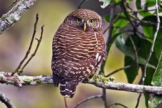 Asian Barred Owlet (Glaucidium cuculoides). A small round-headed owlet, resembling Jungle Owlet, but larger. The two species may occur together in the lower foothills. Heavily and broadly barred on breast and flanks with streaking on lower flanks.  Has a relatively long tail. The call is a bubbling wowowowowowowowow which gets deeper and louder. Undulating flight. Prefers hill forests. Largely diurnal often found sitting in the open in full sunlight. Feeds chiefly on large insects.