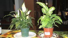 Le lys de la paix une plante contre la pollution intérieur