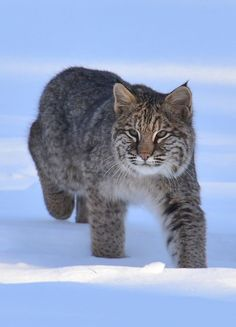 Bob Cat - title Eye On the Prize - This photo shows the Bobcat stalking it's prey.  This photo was taken near Boiestown, N.B., Canada.  The snow was really deep this year and these lovely creatures resorted to feeding in peoples yards.