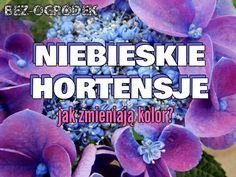 Niebieska hortensja ogrodowa - jak zmienić kolor kwiatów?   BEZ-OGRÓDEK   blog ogrodniczy Perennials, Nature, Plants, Gardening, Inspiration, Sad, Biblical Inspiration, Naturaleza, Lawn And Garden