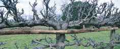How to Grow Espalier Apple Trees - article by a man who work 30 years with them in an English garden