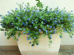Nome Científico:  Evolvulus glomeratus  Nomes Populares: Evólvulo, Azulzinha  Família:  Convolvulaceae  Categoria:  Flores Perenes , F...