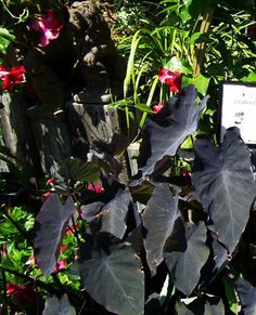 fall decorating ideas, picture of colocasia black marble plant from roger's gardens
