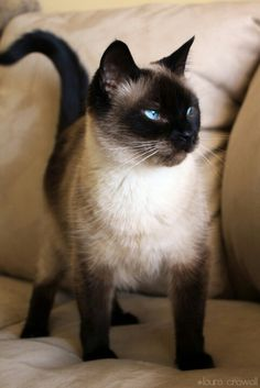Siamese kitty!
