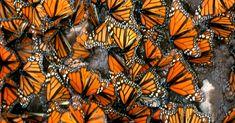 Elaboran un plan de acción para salvar a la mariposa monarca ...