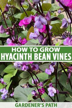 Blooms for miles and showstopping purple pods on a fast-growing, twining vine? Read our guide now and fall in love with the multitasking hyacinth bean. Vine Trellis, Plants, Hyacinth Bean Vine, Climbing Flowering Vines, Blooming Plants, Perennials, Growing Tree, Peonies Garden, Purple Beans