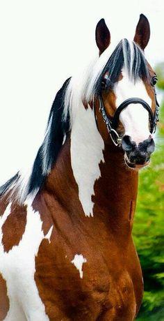★  Horses ★ Solaris Buenno - Dutch Warmblood by Umenno All The Pretty Horses, Beautiful Horses, Animals Beautiful, Cute Animals, Horse Pictures, Animal Pictures, Cheval Pie, Dutch Warmblood, Majestic Horse
