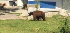Wandering bear prompts lockdown at California elementary school