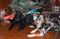 My 2 Australian shepherds (sister & brother) with our Newfoundland pup.  All at about 6-9 months old.  Only the female in the middle is still in the race to make it to 13