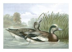 American Gigeon Ducks (A. Pope Jr.)