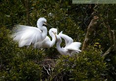 Information on tours that visit the only White Heron (Kotuku) nesting site in New Zealand and other activities offered by White Heron Sanctuary Tours Treaty Of Waitangi, South Pacific, Heron, Winter White, New Zealand, Tours, Birds, Animals, Beautiful