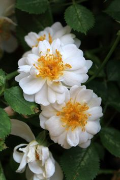 Climbing Rose: Rosa 'Tear Pearl' (Japan, but is still in testing? Perennial Flowering Plants, Perennials, Rose Foto, Ronsard Rose, Rare Roses, Rose Care, Rose Varieties, Rose Perfume, Hybrid Tea Roses