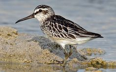 Broad-billed Sandpiper (Limicola falcinellus) is a small wading bird.