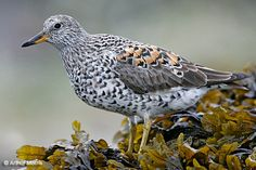 Surfbird  Listed as:  Rare in Florida