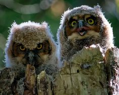 Great horned owlets, about 4 weeks old, peek out from their nest in the nook of a tree. Great horned owls nest throughout North and South America, usually finding a spot in an abandoned nest or a nook in a tree.