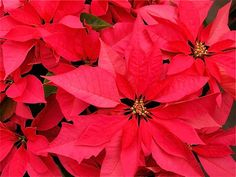 Poinsettia - a plant that was once considered to be very poisonous but is now classified as non-toxic or only mildly toxic. Article by AliciaC on HubPages