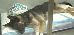 Dina Alborano's- German shepherd found frozen to the ground in New Jersey