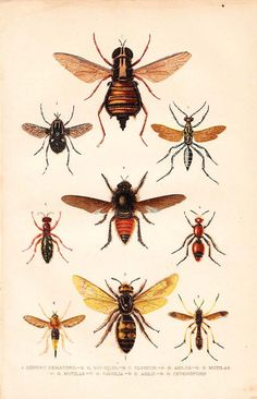 Antique Print Insects Natural History Lithograph 1920 by carambas, $16.00
