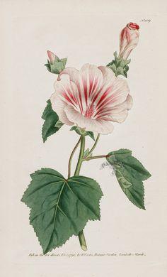 Lavetera from 1815 Curtis Botanical Magazine Red, Orange Highly Decorative Prints
