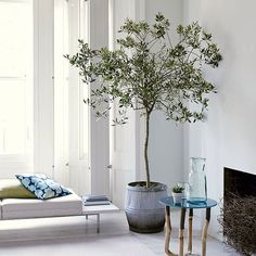 Olive tree in dolly tub