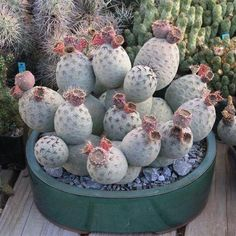 Full size picture of Tephrocactus (Tephrocactus alexanderi var. Succulent Terrarium, Cacti And Succulents, Planting Succulents, Cactus Plants, Unusual Plants, Rare Plants, Cool Plants, Cactus Names, Indoor Tropical Plants