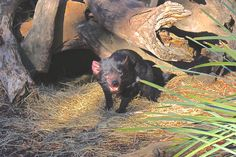 Tasmanian Devil !! Frava et Tout Ça, Bonorong : http://fravatoutca.com/2015/08/27/video-bonorong-et-diables-de-tasmanie/