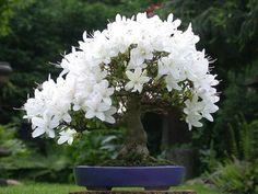 Resultado de imagem para azalea blanca bonsai