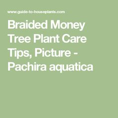 Braided Money Tree Plant Care Tips, Picture - Pachira aquatica