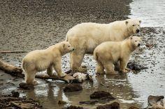 Photos: Polar #bears of Kaktovik | Alaska Dispatch