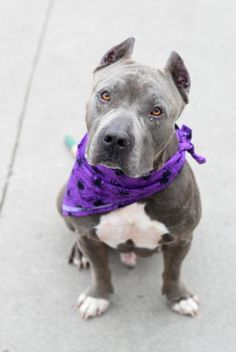 Safe 💋 Brooklyn Center DIESEL – A1091531 MALE, BLUE, PIT BULL MIX, 5 yrs STRAY – STRAY WAIT, NO HOLD Reason STRAY Intake condition EXAM REQ Intake Date 09/27/2016, From NY 10303, DueOut Date09/30/2016