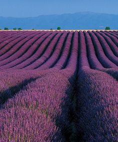 Lavender fields in Provence c'est magnifique