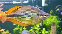 Running Creek Rainbow (Melanotaenia trifasciata). Now these are one of my new favorites!