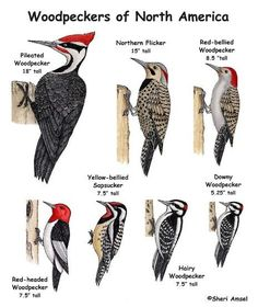Important in controlling insect populations, Woodpeckers are greatly served by the presence of dead trees, so leave them standing if they don't pose a danger. Description from oakmossed.wordpress.com. I searched for this on bing.com/images