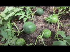 How To Prune Watermelon Plant Sugar Baby Watermelon, Watermelon Plant, How To Grow Watermelon, Fruit Trees, Trees To Plant, Organic Gardening, Gardening Tips, Watermelon Varieties, Growing Melons