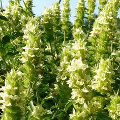 Podlaski Ogród Botaniczny Herbs, Plants, Herb, Plant, Planets, Medicinal Plants
