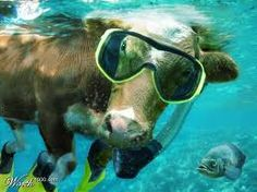 Why can't a cow go scooba diving and no one look at you like you're crazy?!