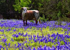 oh how I miss seeing this, the longhorns, the bluebonnets...the Texan in me wants to come back to the Lone Star State!
