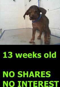 KEN (A1744089) I am a male black and tan Terrier. The shelter staff think I am about 13 weeks old. I was found as a stray and I may be available for adoption on 12/07/2015. Miami Dade https://www.facebook.com/urgentdogsofmiami/photos/pb.191859757515102.-2207520000.1450017538./1089274967773572/?type=3&theater