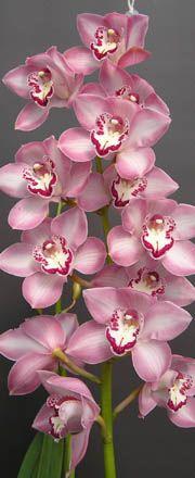 Cymbidium Orchids : Kiwi Orchids - Cymbidum Orchid Varieties - Kiwi Princess 'Samantha'