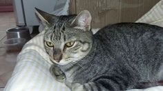 Gatos - Belo Horizonte - MG - normal rajado - Adotar Cachorro - Adotar Gato