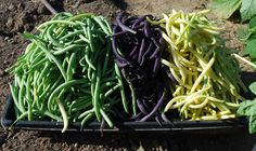 Green bean harvest.  'Rolande', 'Purple Bush', and 'Yellow'.  For information on green bean varieties, see www.grow-it-organically.com/green-bean-varieties.html.