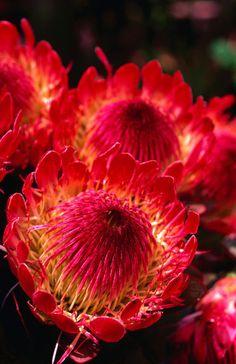 Protea flower growing on the slopes of Haleakala, Maui, HI