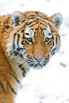 Portrait of the cute tiger, Lailek | Flickr - Photo Sharing!